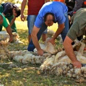 Sheep Shearing Experience Sardinia